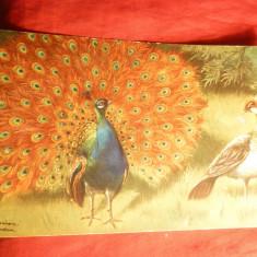 Ilustrata inc. sec.XX - Pauni, semnata, color - Carte postala tematica, Necirculata, Printata