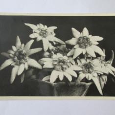 C.P. FLOAREA REGINEI CENZURATA BRASOV 1943 - Carte postala tematica, Circulata, Printata