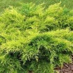 Juniperus pf. Old Gold – ienupar galben - Tuia