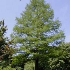Taxodium distichum – chiparos de balta - Arbusti fructiferi