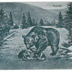 3172 - Maramures, Bears and PIETROSUL RODNEI - old postcard CENSOR - used - 1917 - Carte Postala Maramures 1904-1918, Circulata, Printata