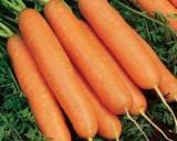 [GALATI] Vand morcovi en-gros