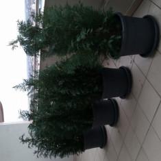 Vand Conifer / Coniferi cu ghiveci
