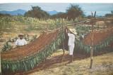 Tabaco Bio 10 ml (organic 100% natural)