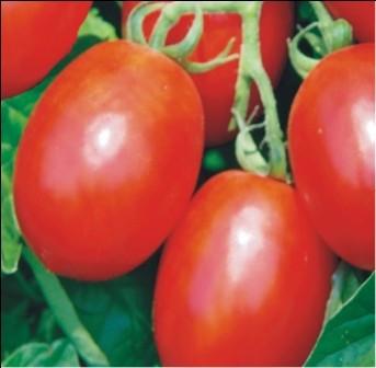 """Seminte """"Rosii alungite"""" - 50 seminte/ plic foto"""