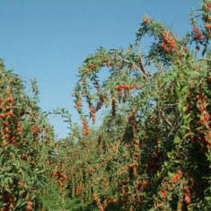 Plante goji pentru infiintare de plantatii