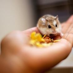 Vand hamsteri roborowski !