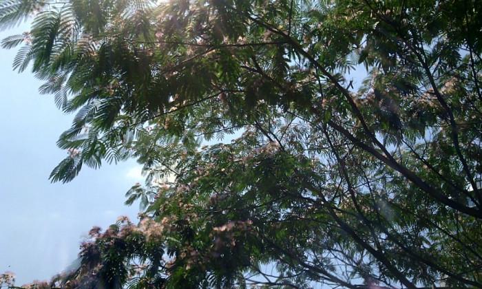 Copac de matase/copacul Mimosa (Albizia julibrissin) (20 seminte) foto mare