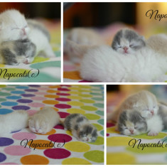 Pui Exotic Shorthair (Persana cu par scurt) cu pedigree - Pisica de vanzare