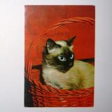 Pisica, animale - necirculata - 2+1 gratis - RBK9036 - Carte Postala Transilvania dupa 1918, Fotografie