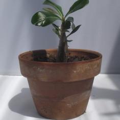 Planta tanara de Trandafirul Desertului (Adenium Obesum)
