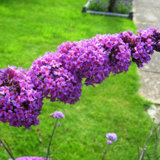 LILIAC DE VARA MOV - Buddleja davidii Border Beauty - 14 lei