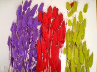 Plante naturale uscate - Lagurus puf - diverse culori foto