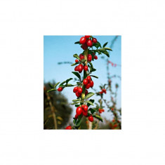 Arbust fructifer GOJI; planta + ghiveci; aclimatizat in Romania; din acest an