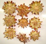 Plante naturale uscate -  capete plumosum - natur