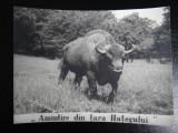 Carte postala - Amintire din Tara Hategului - zimbru, Circulata, Fotografie
