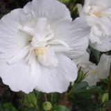 Hibiscus syr. 'White Chiffon' – trandafir chinezesc, zamosita