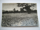Carte postala / Fagaras-Vad- Poiana narciselor (anii 70), Circulata, Fotografie, Romania de la 1950