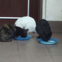4 PISICUTE CU VARSTA DE APROXIMATIV 6 LUNI, DIN CLUJ- NAPOCA. - Pisica de vanzare