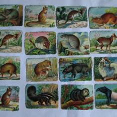 LOT 16 CARTONASE SCOLARE ANIMALE SALBATICE 6 X 8 CM DIN ANII 30 - Cartonas de colectie