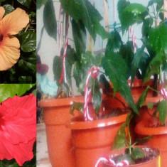 Vând trandafiri japonezi(Hibiscus rosa-sinensis) de culoare roșie și portocalie.
