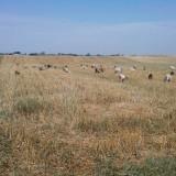 Capre vaccinate, inregistrate cu iezi - Oi/capre