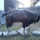Tap 2 ani - Oi/capre