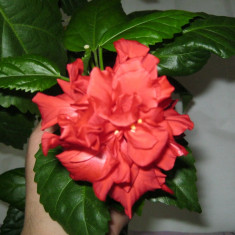 Trandafir japonez culoare rosu batut - Trandafiri