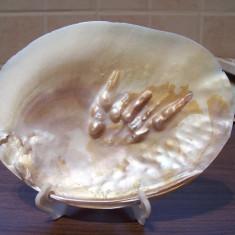 Scoica mare, alba, posibil perle de cultura