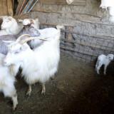 Vand capre - Oi/capre