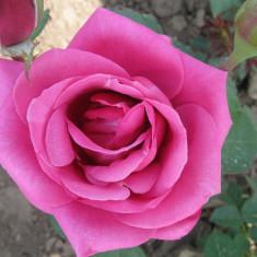 Vand butasi trandafiri si gard viu