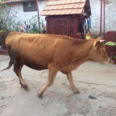 Vaca si doua juninci rasa limousine - Bovine