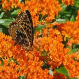 Seminte rare - Iarba fluturilor - Asclepias tuberosa - 3 seminte pentru semanat