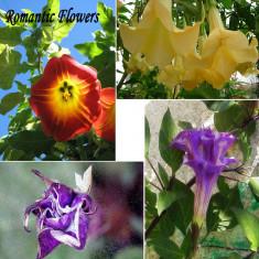 Seminte rare Datura Amestec Culori - 4 seminte pentru semanat