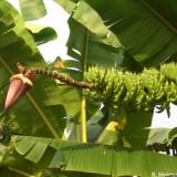 Banana De Munte - Musa Yunnanensis - 2 seminte pentru semanat