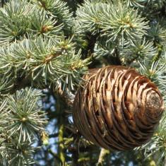 Seminte rare de Cedru Libanez - Cedrus Libani - 2 seminte pentru plantat