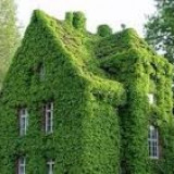 Iedera planta cataratoare gard viu verde permanent iarna - vara