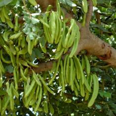 Seminte rare de Ceratonia siliqua - Roscov - 2 seminte pt semanat