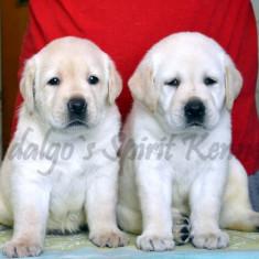 Labrador Retriever - Pui de Calitate - Caini