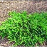 Juniperus Green Mantle – ienupar tarator verde