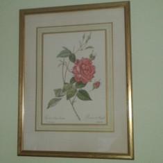 Litografie Poster ROSA INDICA CRUENTA - PIERE JOSEPH REDOUTE