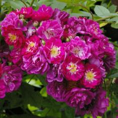 Trandafir Perennial Blue - Trandafiri