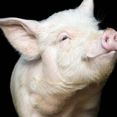 Porci pentru sacrificat, crescuti la tara in Bihor