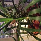 Vand Yucca planta apartament