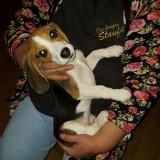 Pui Beagle, 3 luni