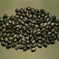 Ricin (ricinus comunis) (35 seminte)
