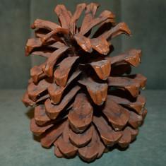 Con de conifer adus din Africa de Sud, 17x14 cm, suvenir, decor, botanica