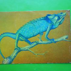HOPCT 17535 BUCURESTI -MUZEUL ANTIPA/CAMELEON INSULA MADAGASCAR [NECIRCULATA] - Carte Postala Muntenia dupa 1918, Printata
