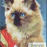 BULGARIA 1979 - PISICA BIRMANEZA, 1 ILUSTRATA MAXIMA OBLITERATA - IM 0622