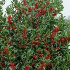 Ilex aquifolium Alaska – ilex Alaska